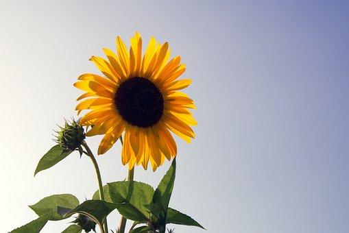 sunflower-1591509__340